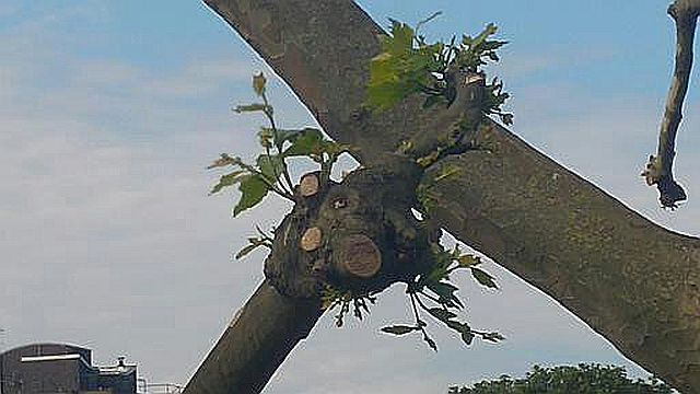 Taken on 11 June. The tree coming back to life